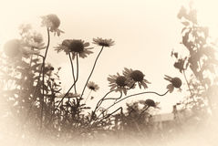faded sepia background of daisies Stock Photography