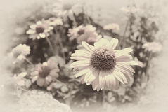 faded sepia background of daisies Stock Image