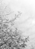 Faded spring background in black and white Royalty Free Stock Photo