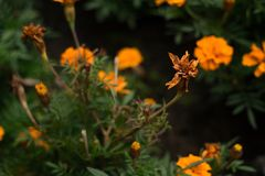 Faded Tagetes. On the flowerbed Royalty Free Stock Photography