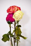 Faded three rose flowers Royalty Free Stock Photography