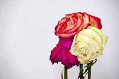 Faded three rose flowers Royalty Free Stock Photo