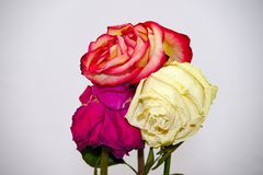 Faded three rose flowers Stock Photos