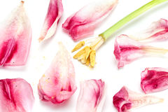 Faded tulip. Royalty Free Stock Photography