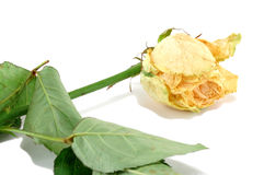 Faded yellow rose Royalty Free Stock Images