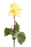 Faded yellow roses Royalty Free Stock Photo