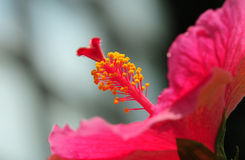 Faden des Hibiscus Lizenzfreie Stockfotos