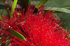 Faden des Mimosenbaums Stockfotos