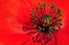 Faden von Poppy Flower Plant Lizenzfreie Stockbilder