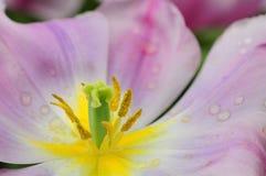 Faden von Tulip Flower Lizenzfreie Stockfotos