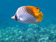 Fadenfisch Butterflyfish Lizenzfreie Stockbilder
