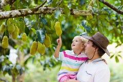 Fader och barn som väljer jackfruiten från träd royaltyfri foto