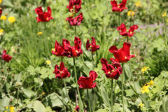 Fades red tulips. In spring Royalty Free Stock Photo