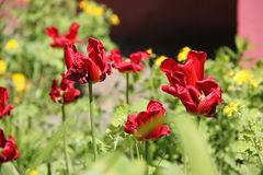 Fades red tulips. In spring Royalty Free Stock Photography