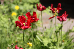Fades red tulips. In spring Royalty Free Stock Images