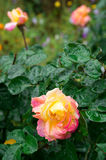 Fades wet autumn rose with blur. Fades autumn rose with drops of water after a rain close-up with blur Royalty Free Stock Photos