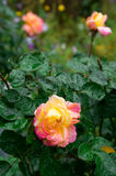 Fades wet rose with drops of  rain. Fades wet rose with drops of water after a rain close-up with blur Royalty Free Stock Image