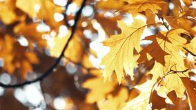 Fading autumn oak leaves. stock footage