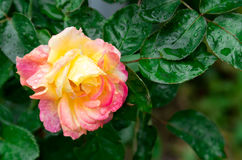 Fading autumn rose Stock Image