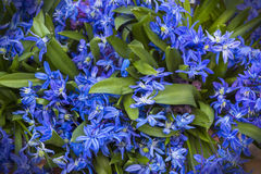 Fading bluebell flowers Stock Image