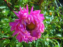Bright-pink aster with the  blue glare on the petals. Pink aster with the blue glare on the petals with the morning lightning in the autumn garden Royalty Free Stock Photos