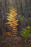 Fading color ferns in autumn Stock Photography