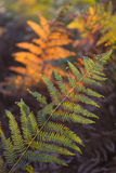 Fading color ferns in autumn light Royalty Free Stock Photography