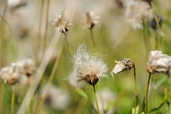 Fading Coltsfoot (Tussilago Farfara) Flowers in Autumn Stock Photo