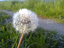 Fading dandelion. Dandelion at the end of flowering stock photos