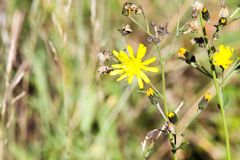 Fading dry dandelion flower Leontodon with last yellow blossoms in autumn - Viersen, Germany royalty free stock photos