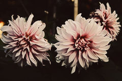 Fading flower dahlia Royalty Free Stock Images