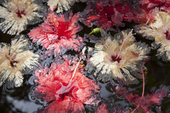 fading Hibiscus on the water  Royalty Free Stock Image