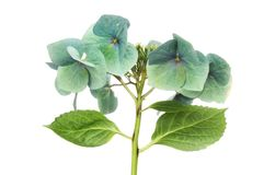 Fading hortensi kwiat zdjęcia royalty free