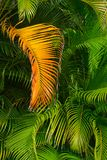 Golden Palm Frond Against Jungle Greenery stock photo