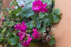 Fading pelargonium zonale at window Royalty Free Stock Photos