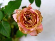 Fading rose royalty free stock photos