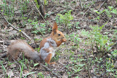 The fading red squirrel Stock Photography