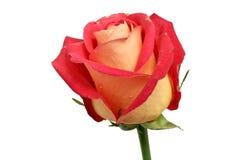 Fading rose stock photos