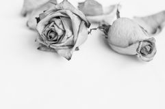 Fading rose. Black and white photo. Fading rose. Dead rose. Black and white photo Royalty Free Stock Image