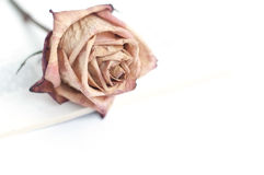 Fading rose. Dead rose. withered rose Stock Images