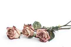 Fading rose. Dead rose. withered rose Stock Photos