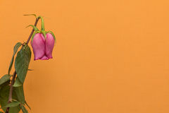 Fading rose flower on the orange Royalty Free Stock Photos