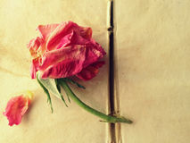 Fading rose on old book pages Royalty Free Stock Image
