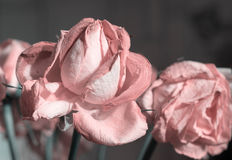 Fading rose pink color Stock Photography