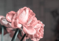 Fading rose pink color Royalty Free Stock Image