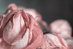 Fading rose pink color Stock Image
