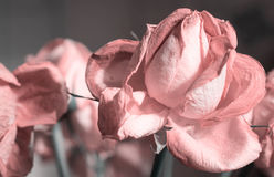 Fading rose pink color Stock Images