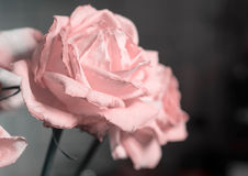 Fading rose pink color Royalty Free Stock Images