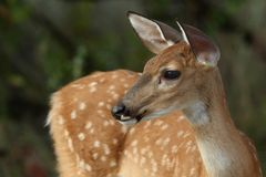 Fading Spots. Whitetail fawns at about 3 months, with spots beginning to fade Royalty Free Stock Photo