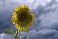 Fading sunflower. A fading sunflower against a clouded sky Stock Image
